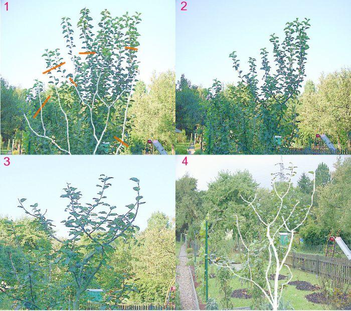 jungen apfelbaum schneiden jungen apfelbaum gepflanzt wie. Black Bedroom Furniture Sets. Home Design Ideas