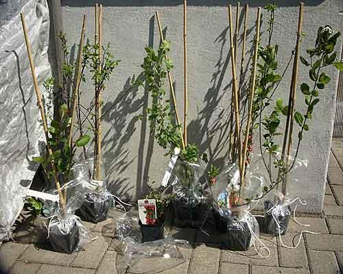 april 2004 02 beerenstr ucher pflanzen. Black Bedroom Furniture Sets. Home Design Ideas