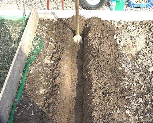 Pflanzkartoffeln pflanzen